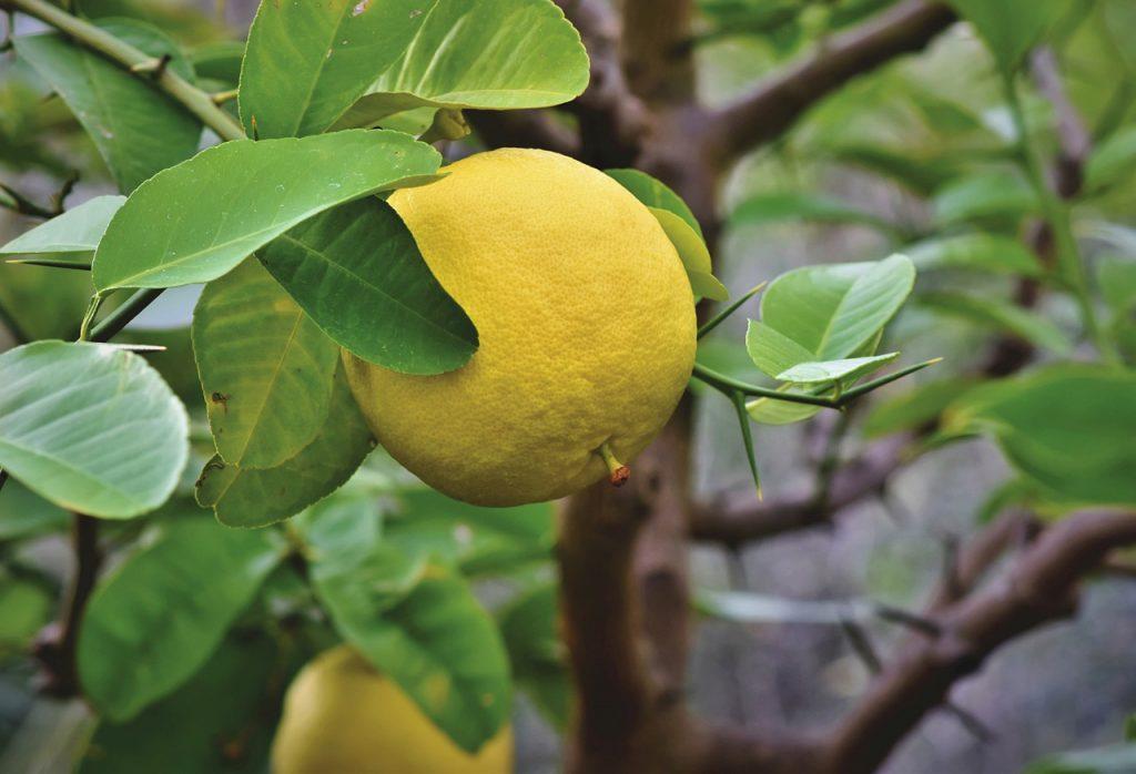 ozone helping grapefruits grow